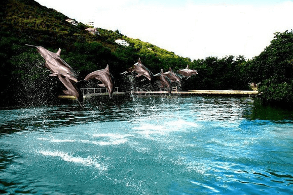 Tortola Dolphin Jumping
