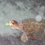VIP Miami Sea Turtle