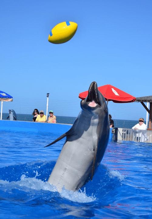 dolphin_football